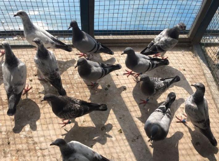 晒晒我的鸽子菜园子:人勤土肥鸽不懒