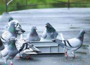 炎热天气鸽子怎样养护