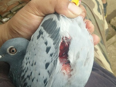 鹰隼袭击鸽子受伤 该不该留着