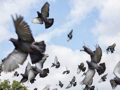 陕西鸽会征集彩鸽 最低交五羽