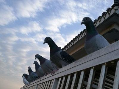 笑对人生:养自己喜欢的鸽子