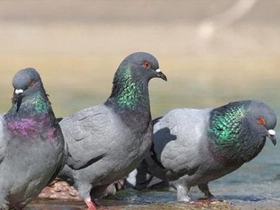 百科长知识:夏季养鸽要点