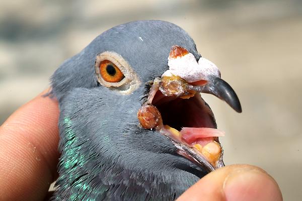 百科分享:你中招没?夏天易发病之鸽痘防治