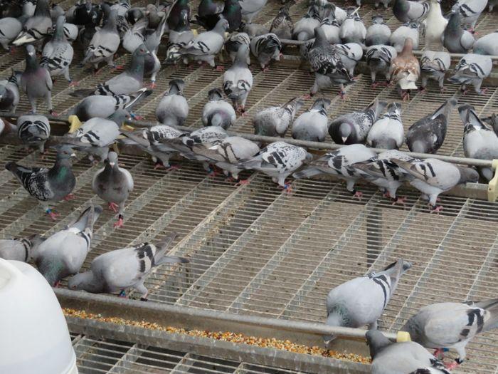 公棚饲养员:养了13年鸽子才知道的误区