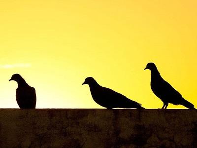 赛鸽即赛人 要赢还得看血统和质量