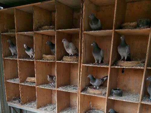 夏季信鸽防病从三方面着手