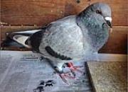 百科长知识:信鸽换羽你了解多少?