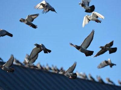 鸽子不喜欢飞 到底是怎么了?