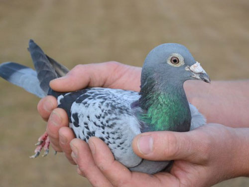 """每日一鸽:比利时的""""神奇小鸟"""""""