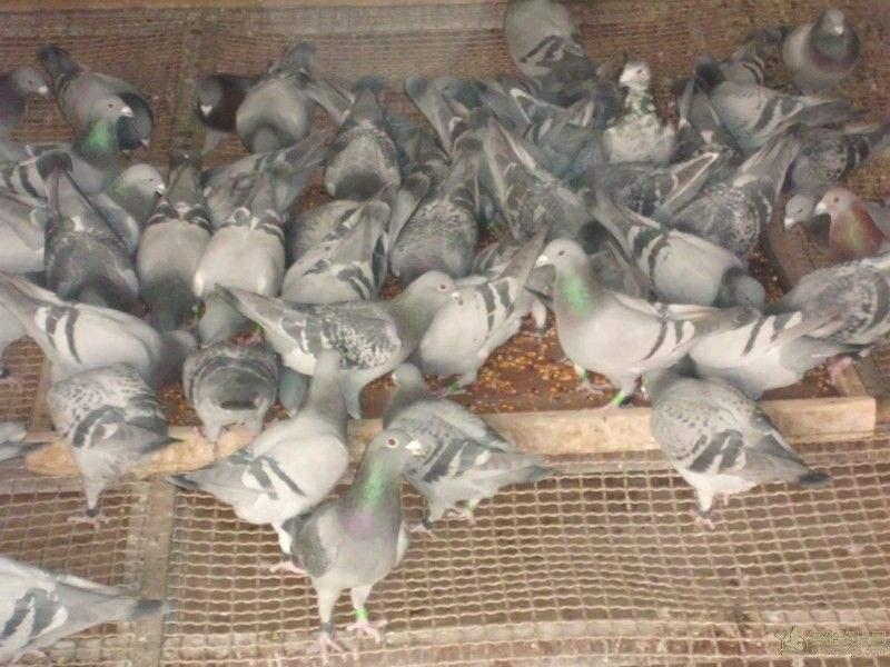 问答:怎么提高鸽子食欲?
