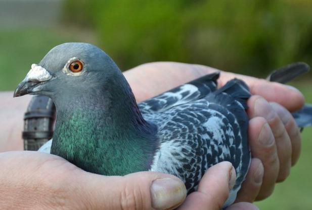 查特鲁24783羽冠军决出 奶酪小子主人夺成鸽冠军