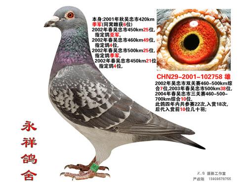"""每日一鸽:宁夏传奇名鸽""""战神"""""""