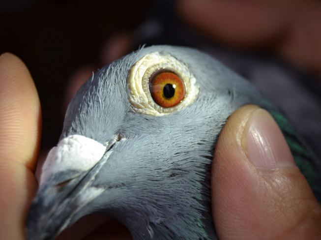 探讨鸽眼的应用话题(一)