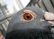 探讨鸽眼的应用话题(四)