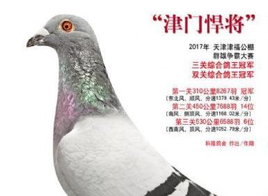 """每日一鸽:公棚超级战鹰""""津门悍将"""""""