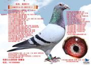 每日一鸽:后代公棚超级发挥的种公