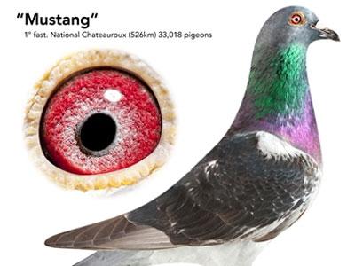 """每日一鸽:乔斯佛卡门""""野马号"""""""