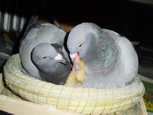 鸽子孵性是否决定幼鸽归巢性?