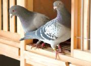 求教:为什么鸽子没有粉尘?
