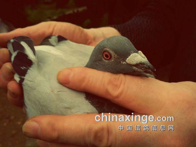 打远程赛轰动沈阳鸽界的大周和他的鸽子