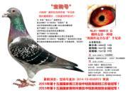 每日一鸽:作出四羽冠军的宝驹号