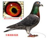 """每日一鸽:山西中奥种雄""""钻石潘特"""""""