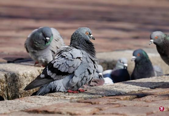 泰国全面禁喂鸽 违者可能面临监禁