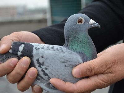 好鸽子不会贵 贵的都是不好的鸽子