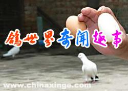 这些鸽界匪夷所思的奇闻趣事 你见过吗?