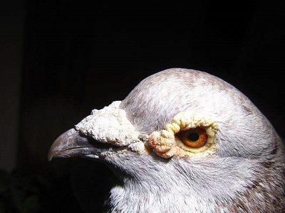 聪明的鸽子不论多远都能回家