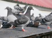 幼鸽的管理与应激反应