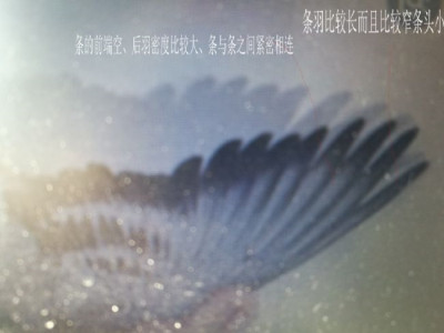 看翅识鸽:一种距离 一种翅膀