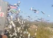 协会放鸽不负责 高速应急车道开笼