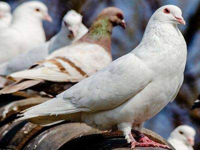 好鸽子总是占据高处?