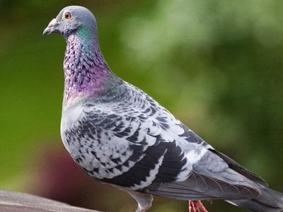 都在养鸽子 凭什么人家的鸽子飞得好?