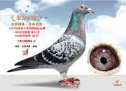 """每日一鸽:桑杰士之""""东方不败""""(图)"""