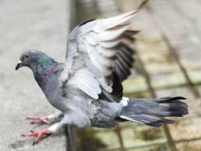 还多少人不曾忘却自己养鸽的初衷