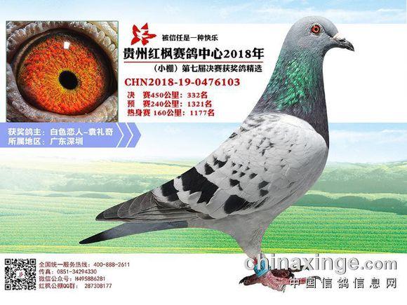 深圳鸽友第二年打公棚 决赛3进2