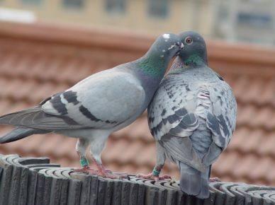 学无止境 养鸽的一些错误做法