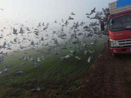 宁夏中卫第一关:首羽鸽上传有误名次取消