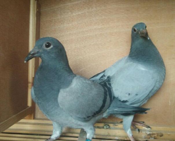 你猜哪羽幼鸽最有出息?