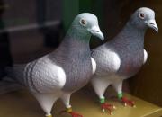 选择鸽质相近的鸽子配对