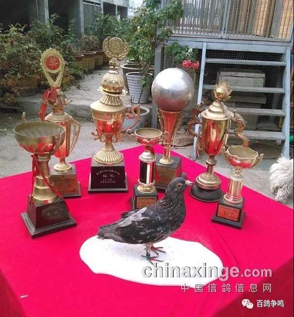 胡刚:中国金鸽奖存折 20年十代冠军育种揭秘
