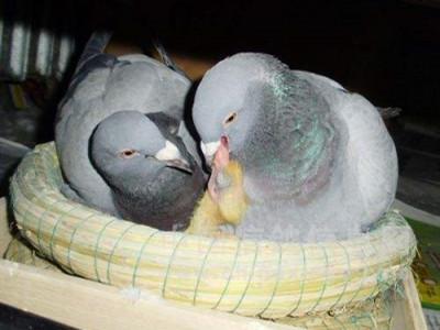 好鸽需从鸽蛋开始培育!