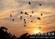 百科长知识:如何激发赛鸽进入巅峰期?