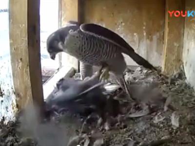 雀鹰好凶猛  可怜的鸽子竟毫无反抗之力