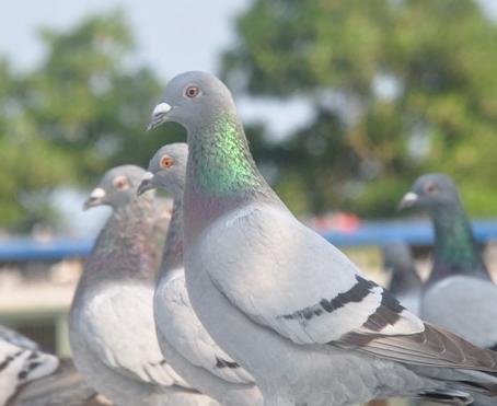 赛期鸽子体能恢复的误区
