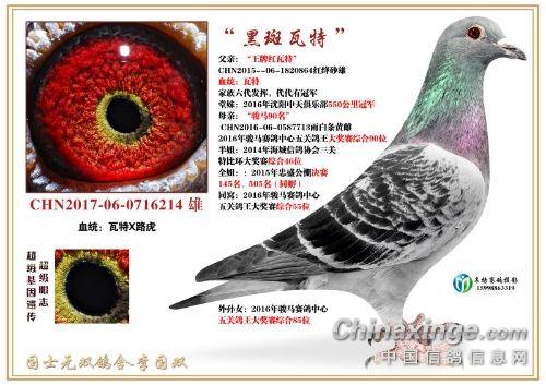 红鸽的隔代遗传!