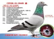 """每日一鸽:连续四代强势发挥的""""鑫鼎大帝"""""""