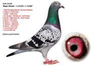 每日一鸽:国际鸽王冠军神奇雌